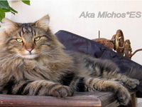 Aka Michos*ES / Norwegian Forest Cats