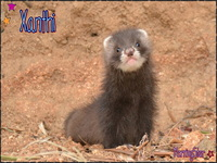 MorningStar Ferrets
