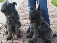 Kerry Blue Terrier GDL